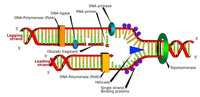Dna replication.png